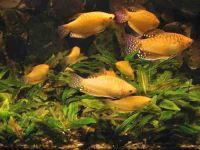 Гурами золотой (Trichogaster trichopterus sumatranus var. gold)