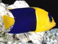Двуцветный ангел (Centropyge bicolor),