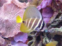 Чернополосая парусная зебрасома (Zebrasoma veliferum)