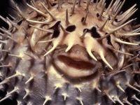 Длинноиглая рыба-ёж (Diodon holocanthus)
