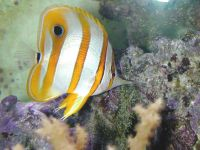 Длиннорылая рыба-бабочка, хелмон (Chelmon rostratus)