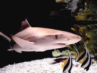 Черноперая акула (Carcharhinus limbatus),