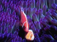 Розовый клоун (Amphiprion perideraion)