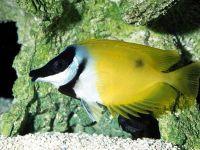 Лисица желтая, рыба-лиса (Siganus vulpinus, Lo vulpinus),