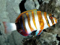 Лиенарделла краснополосая (Choerodon fasciatus)