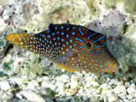 Глазчатый иглобрюх (Canthigaster solandri),