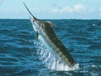 Рыба-меч, или меченосец (Xiphias gladius)