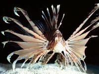 Крылатка-зебра, рыба-лев (Pterois volitans), обои фото фотография