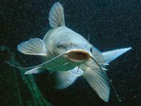 Усатая речная рыба,