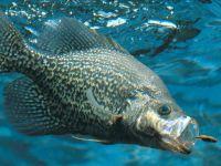 Крупная рыба охотится на малька