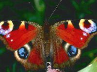 Дневной павлиний глаз (Inachis io) фото