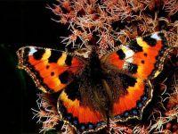 Крапивница обыкновенная (Aglais [=Nymphalis] urticae)