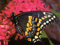 Чёрный Ласточкин Хвост (Papilio polyxenes)
