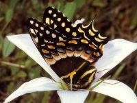 Парусник поликсен (Papilio polyxenes)
