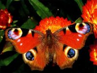 Павлиний глаз (Inachis io)
