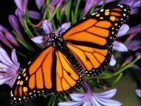 Бабочка монарх (Danaus plexippus) фото