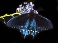 Баттус филенор (Battus philenor)