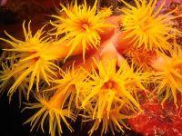 Кораллы, коралловые полипы
