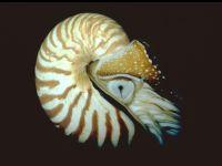 Наутилус, морские беспозвоночные фото, фотография