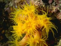 Желтые кораллы полипы,