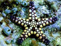 Морская звезда фото обои, фотография