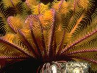 Коралловый перистый полип, , фото обои,