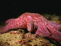 Розовая морская звезда