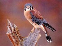 Воробьиная пустельга (Falco sparverius)