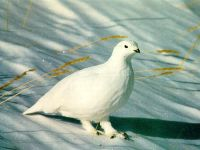 Белая куропатка (Lagopus lagopus)
