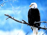 Белоголовый орлан сидит на ветке (Haliaeetus leucocephalus)