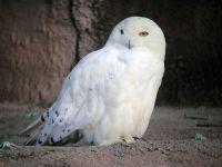 Полярная сова (Bubo scandiacus) самец,