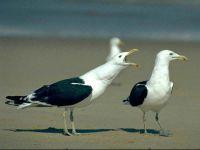 Морские чайки (Larus marinus)