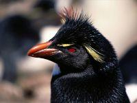 Хохлатый пингвин (Eudyptes chrysocome)