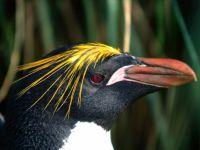 Золотоволосый пингвин (Eudyptes chrysolophus),