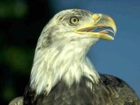 Белоголовый орлан (Haliaeetus leucocephalus) молодая птица