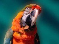 Попугай ара,