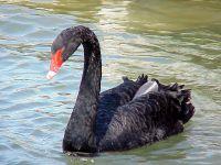 Черный лебедь (Cygnus atratus)