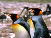Королевские пингвины (Aptenodytes patagonicus), фото обои фотография