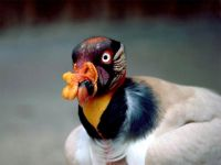 Королевский гриф (Sarcoramphus papa)
