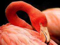 Красный фламинго (Phoenicopterus ruber)