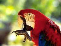 Красный ара, ара макао (Ara macao)