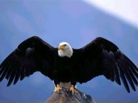 Белоголовый орлан, расправивший крылья,