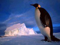 Императорский пингвин (Aptenodytes forsteri), обои фото фотография