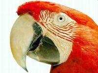 Красный ара, ара Скарлета (Ara macao)