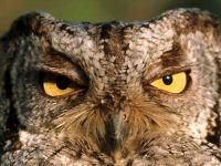 Ночная хищная птица