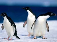 Пингвины Адели (Pygoscelis adeliae)