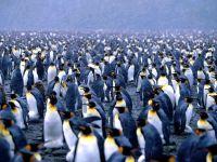 Колония королевских пингвинов