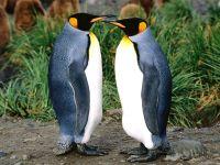 Два королевских пингвина (Aptenodytes patagonicus)