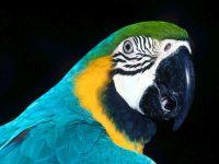Ара сине-желтый (Ara ararauna)