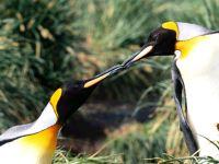 Целующиеся королевские пингвины